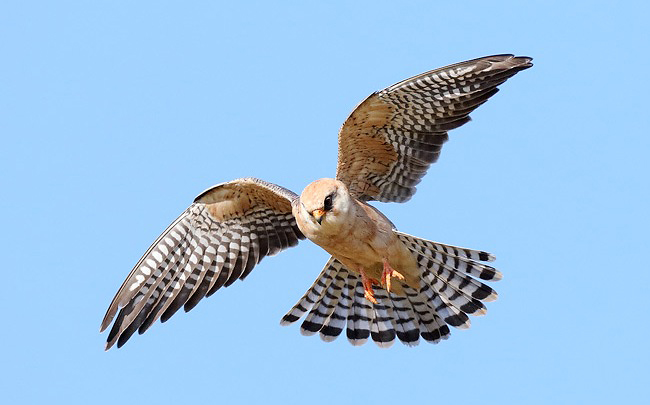 Photograph of Red-footed Falcon