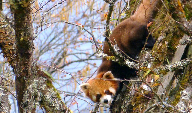 Photograph of Red Panda