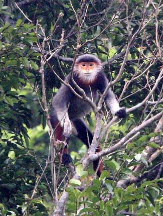 Photograph of Red-shanked Douc Langur