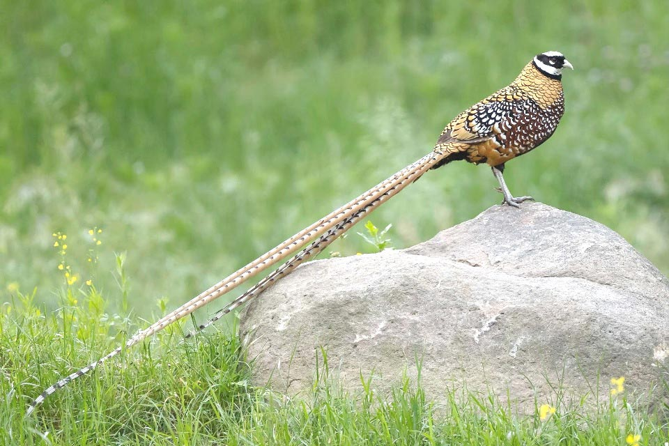 Photograph of Reeve's Pheasant