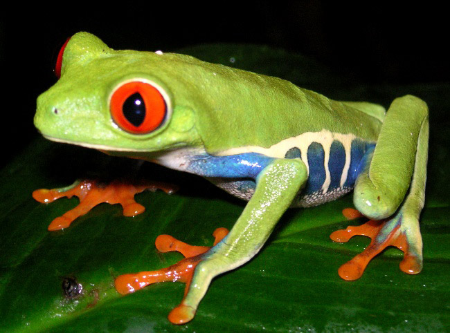 Photograph of Red-eyed Tree Frog