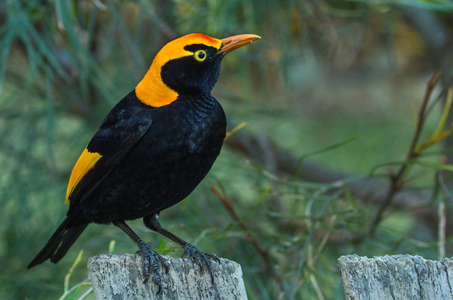 Photograph of Regent Bowerbird