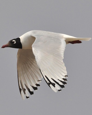 Photograph of Relict Gull