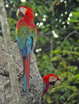 Photograph of Red-and-green Macaws
