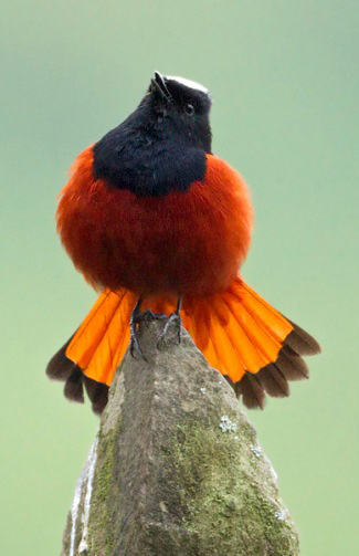 Photograph of White-capped Water-redstart (River Chat)