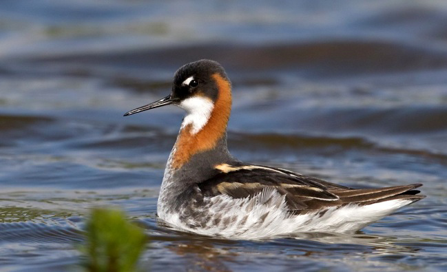 Photograph of Red-necked Phalarope