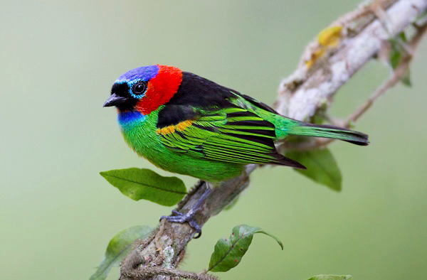 Photograph of Red-necked Tanager