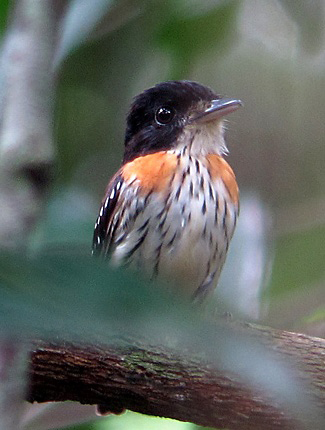 Photograph of Rufous-sided Broadbill