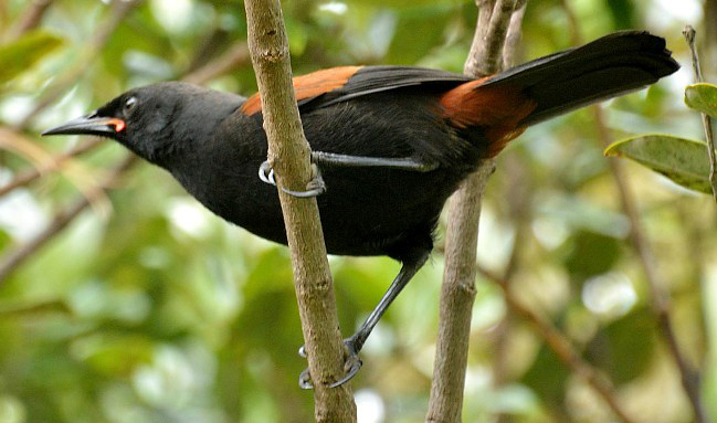 Photograph of Saddleback
