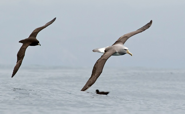Photograph of Salvin's Albatross