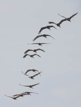 Photograph of Sandhill Cranes