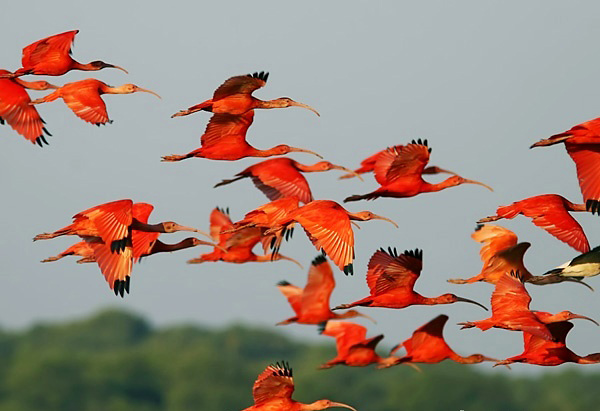Photograph of Scarlet Ibises