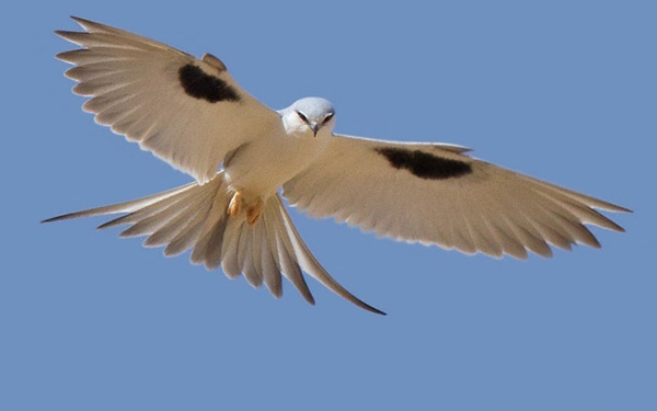 Photograph of African Swallow-tailed Kite