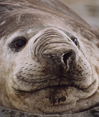 Photograph of Southern Elephant Seal