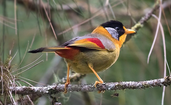 Photograph of Silver-eared Mesia