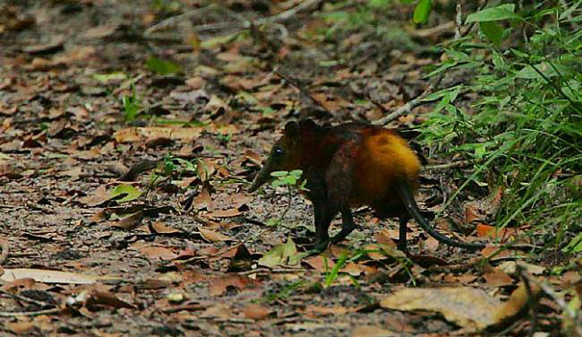 Photograph of Golden-rumped Elephant Shrew