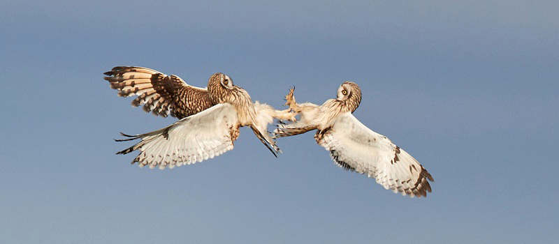 Photograph of Short-eared Owls