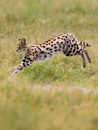 Photograph of Serval