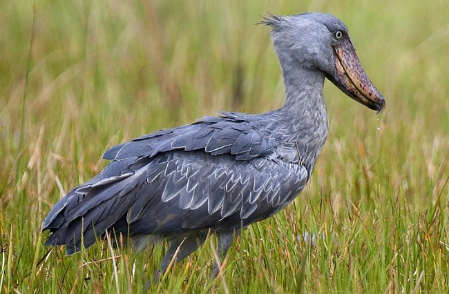 Photograph of Shoebill