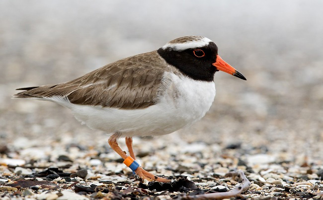 Photograph of Shore Plover