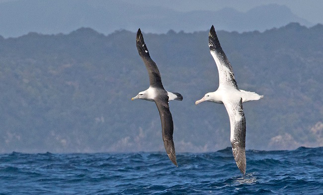Photograph of Shy and Southern Royal Albatrosses