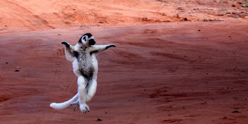 Photograph of Verreaux's Sifaka