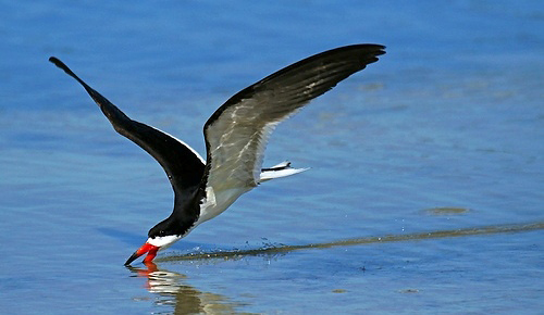 Photograph of Black Skimmer