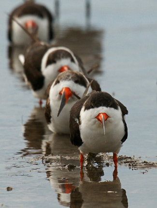 Photograph of Black Skimmers