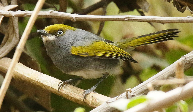 Photograph of Slaty Vireo