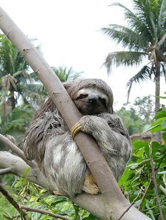 Photograph of Three-toed Sloth