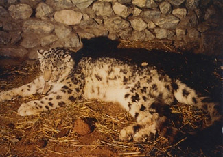 Photograph of Snow Leopard