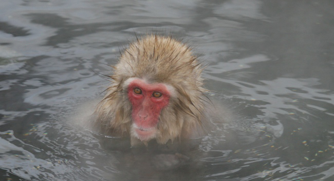 Photograph of Japanese Macaque