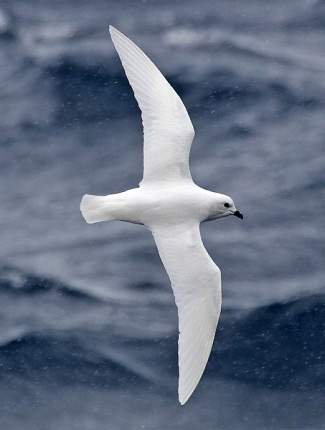 Photograph of Snow Petrel