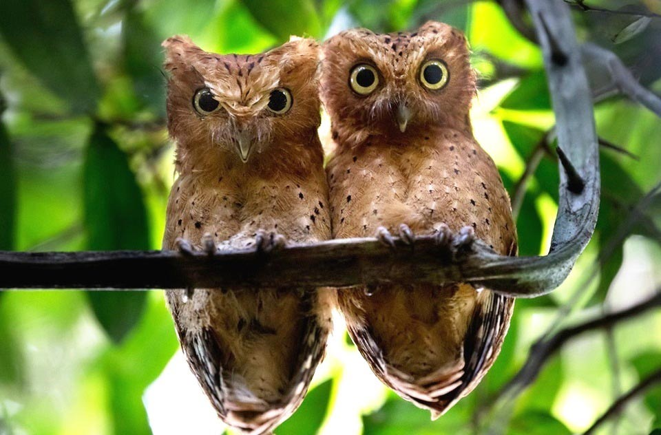 Photograph of Sokoke Scops-owl