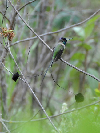 Photograph of Marvellous Spatuletail
