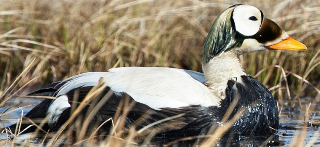 Photograph of Spectacled Eider