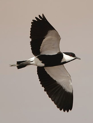 Photograph of Spur-winged Lapwing