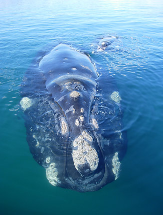 Photograph of Southern Right Whale