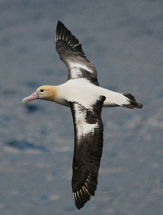 Photograph of Short-tailed Albatross