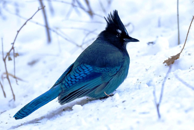 Photograph of Steller's Jay