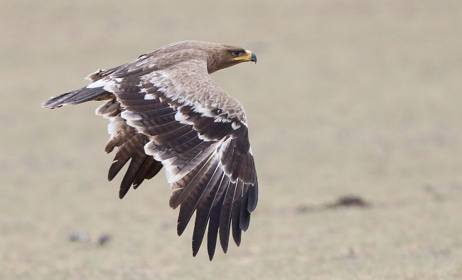 Photograph of Steppe Eagle