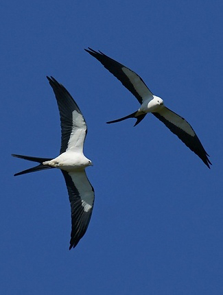Photograph of American Swallow-tailed Kites