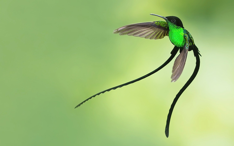 Photograph of Black-billed Streamertail