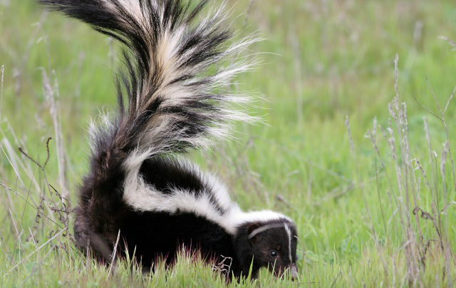 Photograph of Striped Skunk