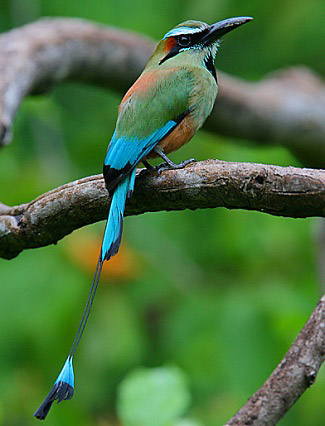 Photograph of Turquoise-browed Momot