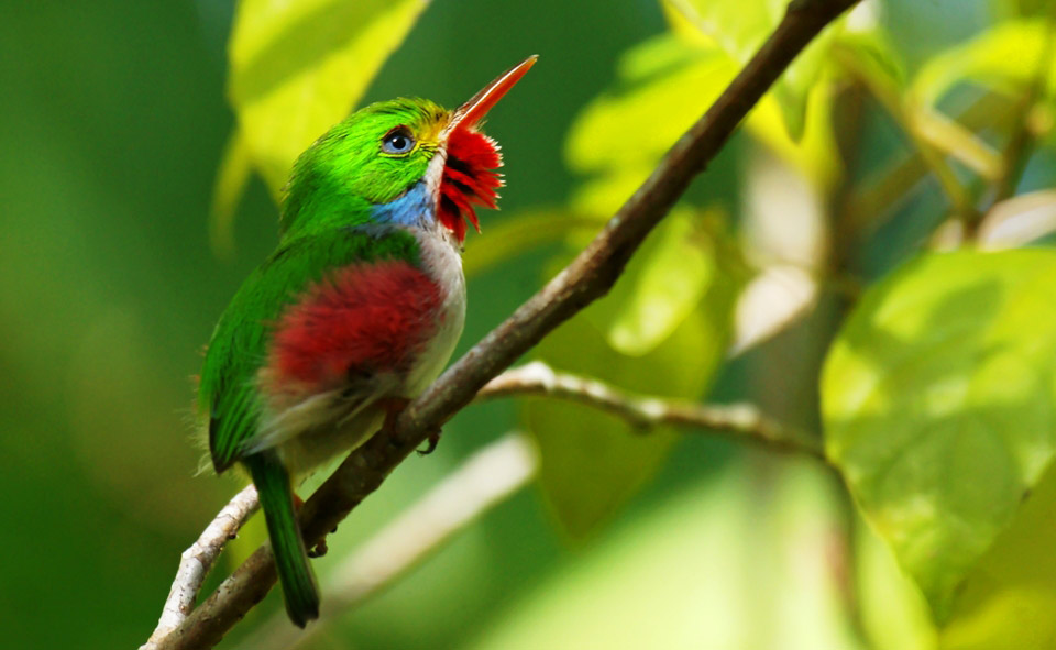 Photograph of Cuban Tody