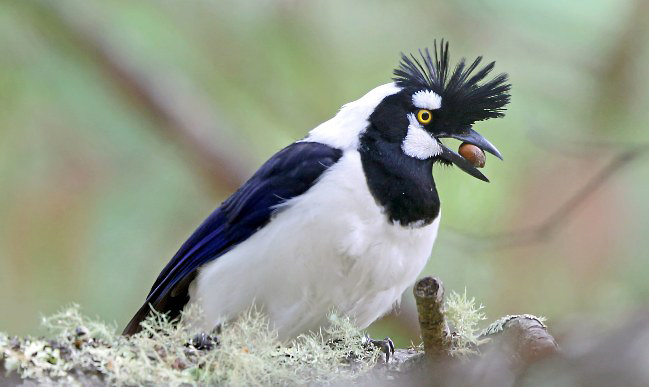 Photograph of Tufted Jay