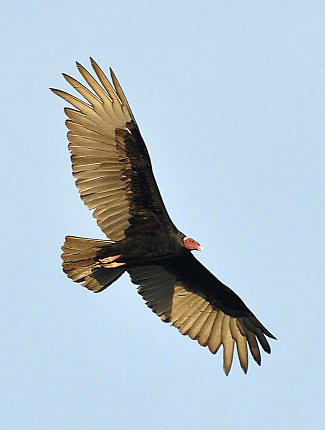 Photograph of Turkey Vulture