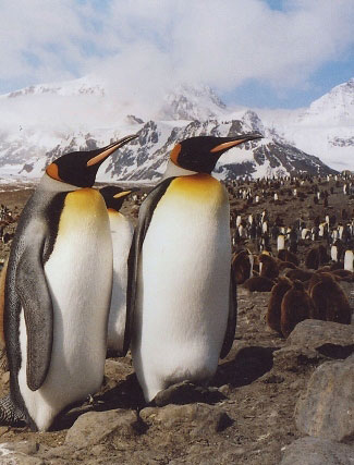 Photograph of King Penguins on South Georgia