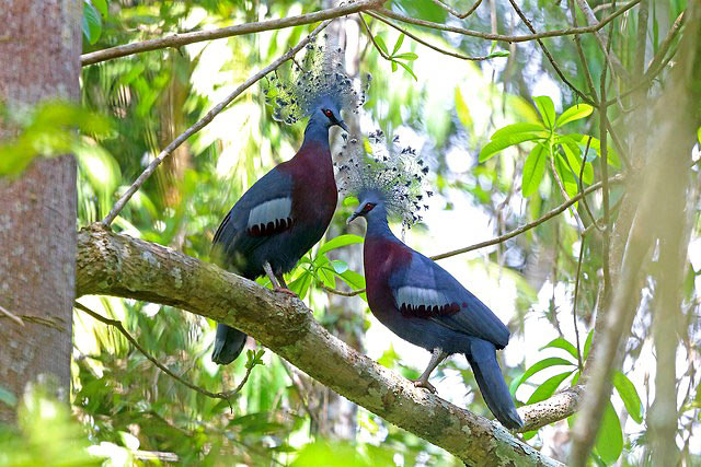 Photograph of Victoria Crowned Pigeons